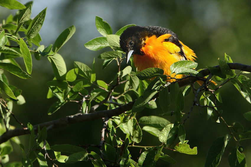 With its brilliant orange and black plumage, the Baltimore Oriole's arrival is eagerly awaited by birders each spring migration.