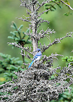 Perched Blue Jay in dead tree