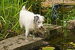 Scruffy dog standing by garden pond