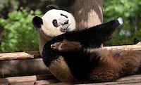 May 3rd 2011_Chengdu, China_ Giant Pandas at the Chengdu Research Base of Giant Panda Breeding near Chengdu, Sichuan Province.  The Panda Base is the largest Panda breeding facility in the world.  Photographer: Daniel J. Groshong/The Hummingfish Foundation