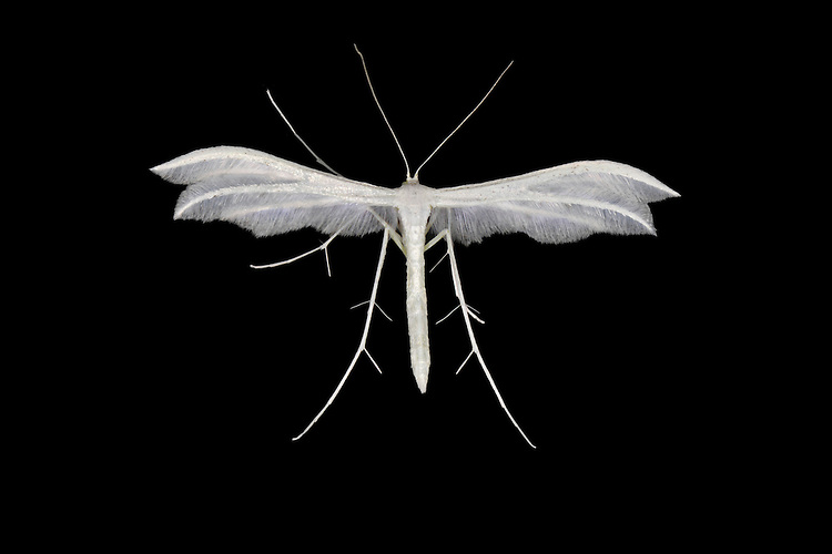 45.030 (1513)<br /> White Plume Moth - Pterophorus pentadactyla