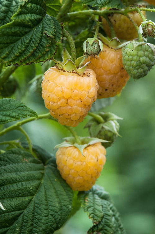 Yellow raspberry 'All Gold', early September.