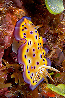 Kunie's chromodoris (Chromodoris Kuniei) , Big drop, Loloata, Bootless bay, Coral sea, Pacific ocean, Papua New Guinea, Asia