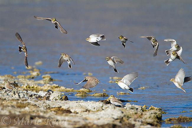 Horned Lark (Eremophila alpestris), flock landing on the shore of Mono Lake in autumn, Mono Lake, California, USA