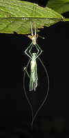 A grasshopper hangs from its recently-shed exoskeleton while waiting for its new shell to harden.