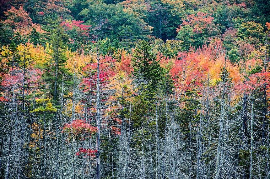 Autumn forest trees,  Acadia National Park, Maine, USA