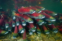 RY1499-D. Sockeye Salmon (Oncorhynchus nerka) swimming together upstream. When sockeye leave the sea and enter freshwater to begin their final journey upriver to spawn and die, they undergo dramatic change. Silver bodies become red and green and they stop feeding. In males the snout transforms into a hooked beak and their teeth lengthen to become fangs. Adams River, British Columbia, Canada.<br /> Photo Copyright &copy; Brandon Cole. All rights reserved worldwide.  www.brandoncole.com