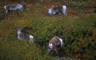 Wild reindeer, Norway Wild reindeer, Norway
