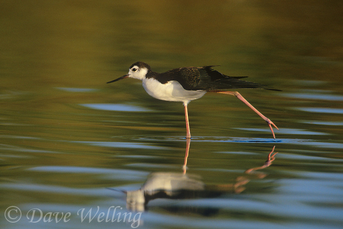 579506580 a wild juvenile black-necked stilt homantopus mexicanus performs a wing stretch in the salton sea while foraging for food