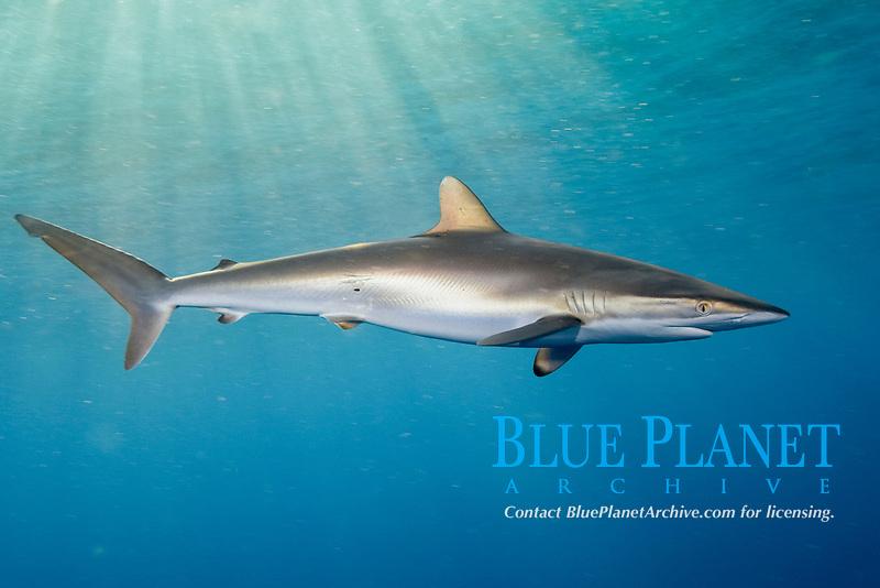 Silky Shark (Carcharhinus falciformis) . Galveston, Texas, Gulf of Mexico.