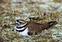 1K02-001d  Killdeer - adult sitting on eggs at nest site - Charadrius vociferus