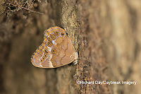 03481-00110 Southern Pearly-Eye (Enodia portlandia) Big Oak Tree State Park Mississippi County, MO