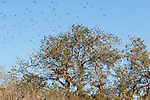 Brazoria County, Damon, Texas; a large flock of blackbirds landing in the top branches of a live oak tree