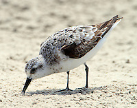 Juvenile sanderling in Sept