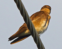 Northern rough-winged swallow adult