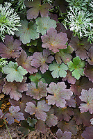 Geranium 'Dusky Rose' dark black foliage purple