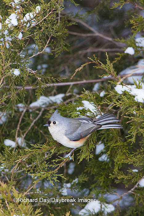 01298-03613 Tufted Titmouse (Baeolophus bicolor) in winter.  Marion Co. IL