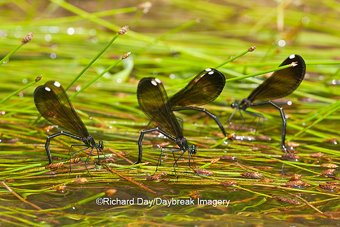 06014-003.10 Ebony Jewelwings Damselflies (Calopteryx maculata) females ovipositing  in stream, MO