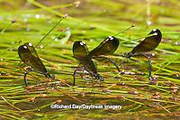06014-003.10 Ebony Jewelwings Damselflies (Calopteryx maculata) females ovipositing  in stream, MO