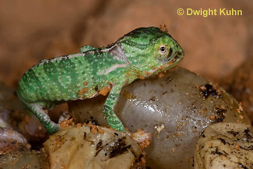 CH43-572z  Veiled Chameleon young hatching from eggs, Chamaeleo calyptratus