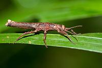 Stick-insect, Pylaemenes mitratus, on leaf, Night walk in rainforest, Sepilok National Park, Sandakan, Sabah, Northeastern Borneo, Malaysia