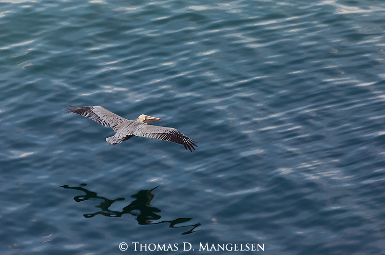 A brown pelican flies over the water off the coast of California.