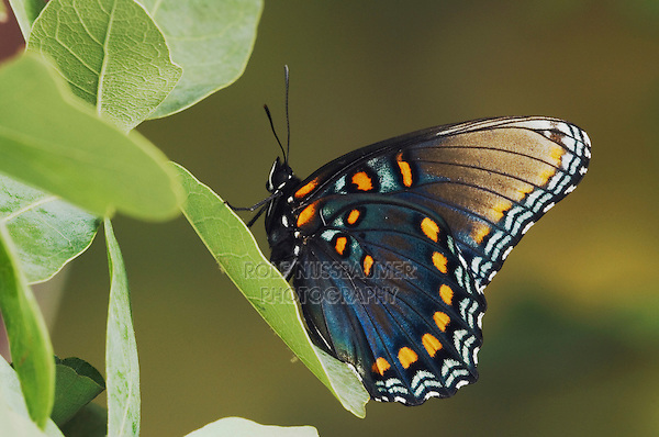 Red-Spotted Purple, Limenitis arthemis astyanax, adult on Lacey Oak (Quercus laceyi),Uvalde County, Hill Country, Texas, USA