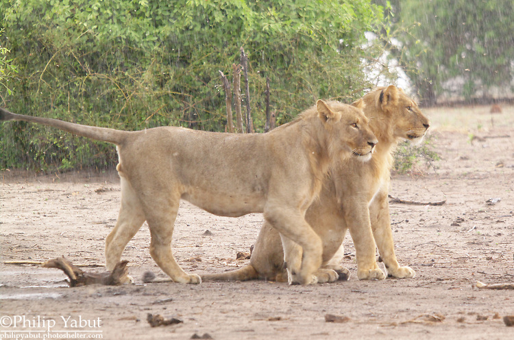 A pair of young lion brothers surveys the Chobe floodplain.  <br />