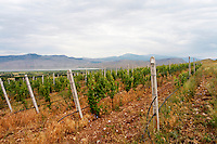 Vineyard. Traminer. Amyntaion wine cooperative, Amyndeon, Macedonia, Greece