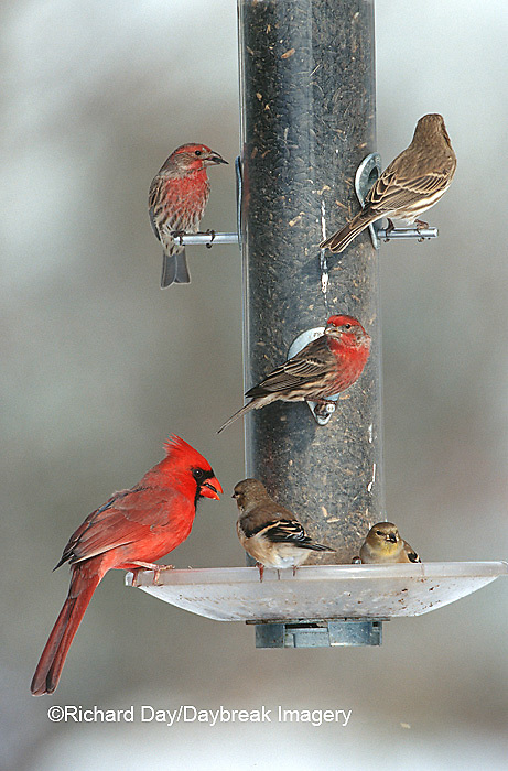 00585-026.11 Northern Cardinal (Cardinalis cardinalis) male, American Goldfinches (Carduelis tristis) & House Finches on sunflower tube feeder IL