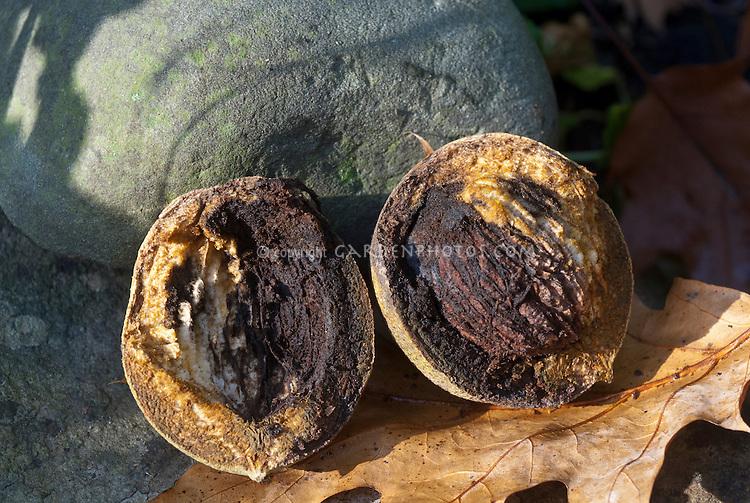Black Walnut nuts, Juglans nigra, the eastern black walnut, showing inside of nut closeup