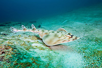 banded guitarfish, mottled guitarfish, prickly skate, striped guitarfish, Zapteryx exasperata, Cabo Pulmo National Park, Baja California Sur, Mexico, Gulf of California, Sea of Cortez, Pacific Ocean