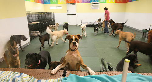In the back of the large dog playroom, Mariko Dow keeps an eye on the clients at the Happy Tails Dog Spa. Don Puryear is the owner of Happy Tails Dog Spa. In the facility are playrooms for large and small dogs as well as an outdoor play area.  (Tuesday, July 31, 2007, in Houston. ( Steve Campbell / Chronicle)