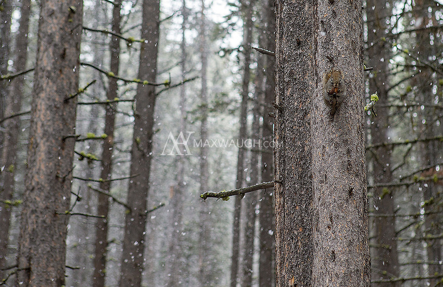An American red squirrel feeds on a pinecone in a snowy forest.