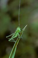 Grünes Heupferd, Entwicklungsreihe, 1. Larvenstadium, Larve, Nymphe, Weibchen, Großes Heupferd, Großes Grünes Heupferd, Grüne Laubheuschrecke, Tettigonia viridissima, Great Green Bush-Cricket, Green Bush-Cricket, female, la grande sauterelle verte, Tettigoniidae