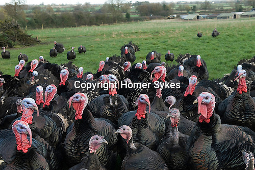 Free range Christmas Turkey Fosse Meadows Farm Leicestershire UK
