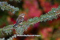 01471-00614 Yellow-rumped Warbler (Dendroica coronata) in fall, Marion Co., IL