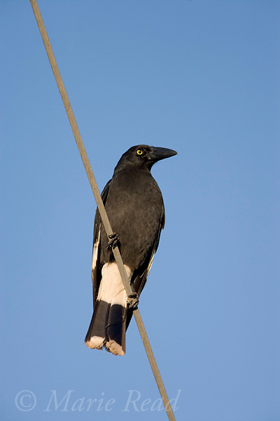 Pied Currawong (Strepera graculina), Bunya Mountains National Park, Queensland, Australia