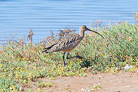 Long-Billed Curlew, Guerrero Negro, Baja Sur, Mexico