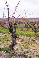 Minervois. Languedoc. Vines trained in Gobelet pruning. Old, gnarled and twisting vine. Terroir soil. France. Europe. Vineyard.