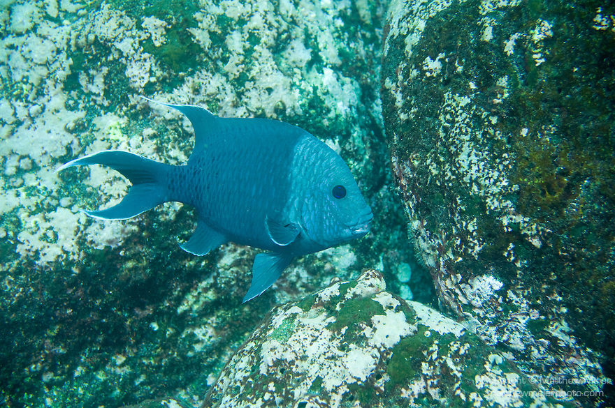 Santa Fe Island, Galapagos, Ecuador; an adult, breeding male Giant Damselfish (Microspathodon dorsalis) swims over the rocky reef, the head turns silver gray while breeding, usually between 6-10 inches, max 1 ft , Copyright © Matthew Meier, matthewmeierphoto.com All Rights Reserved