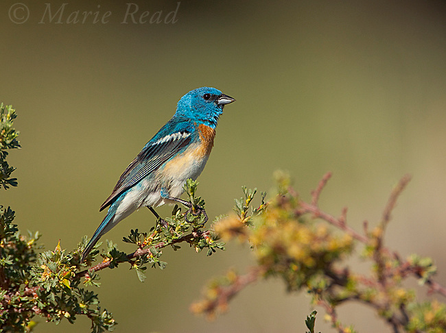 Lazuli Bunting (Passerina amoena) male in breeding plumage, Mono Lake Basin, California,USA