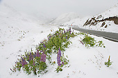 Flowering lupins get  covered with  late spring snow in the Lindis Pass, Waitaki District, Canterbury, South Island, New Zealand.