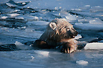 Polar bear emerges from a swim in icy waters.