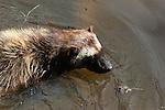 wolverine swimming