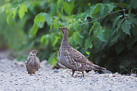 Blue Grouse,Dendragapus obscurus,Ouray, San Juan Mountains, Rocky Mountains, Colorado, USA