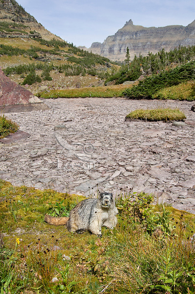 Hoary Marmot (Marmota caligata) near dry alpine tarn (small pond).  Rocky Mountains.  Fall.