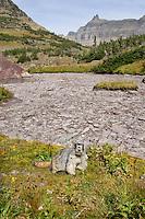 Hoary Marmot (Marmota caligata) near dry alpine tarn (small pond).  Rocky Mountains.  Fall.