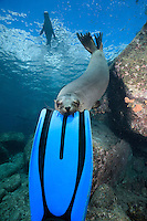 QT0426-D. California Sea Lion (Zalophus californianus) playfully biting diver's flipper. Baja, Mexico, Sea of Cortez, Pacific Ocean.<br /> Photo Copyright &copy; Brandon Cole. All rights reserved worldwide.  www.brandoncole.com