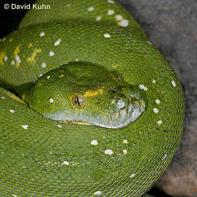 0122-08rr  Green Tree Python - Morelia viridis © David Kuhn/Dwight Kuhn Photography